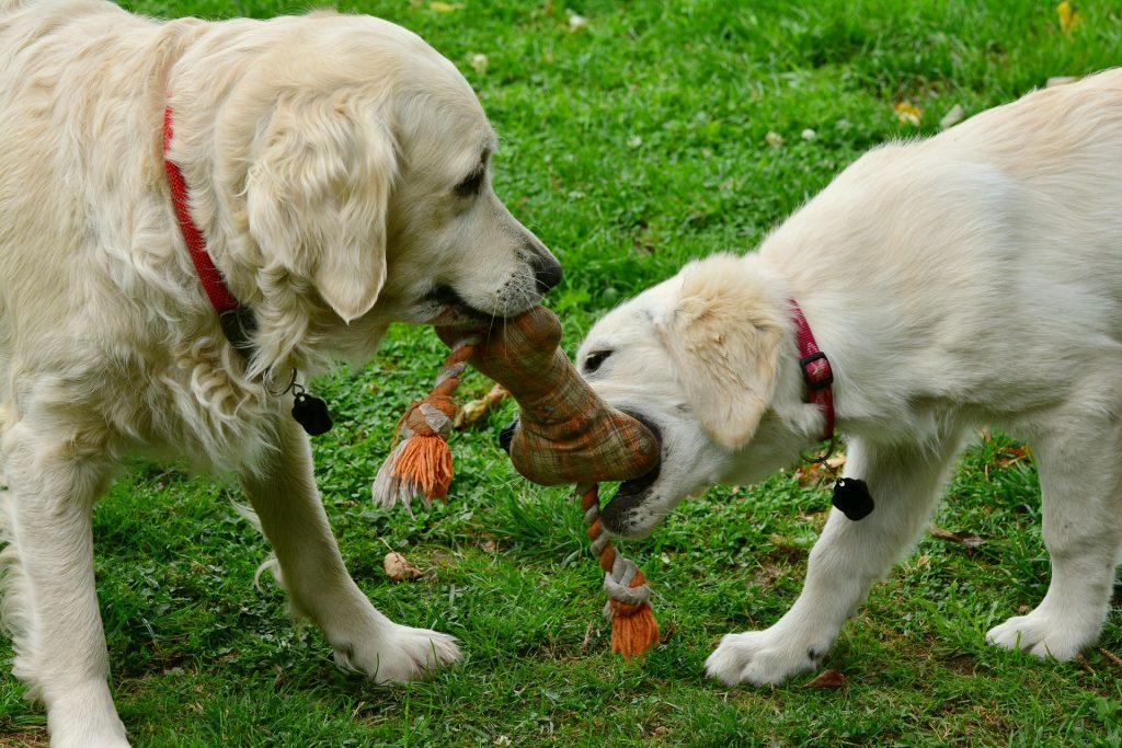 dog rope tug-o-war